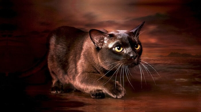Бурманская кошка: груминг