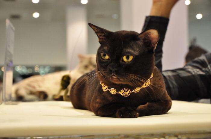 Особенности ухода за бурманской кошкой