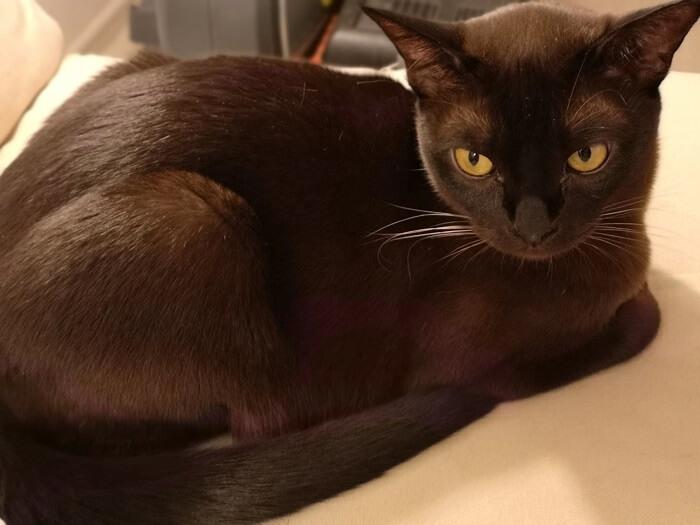 Бурманская кошка: особенности питания