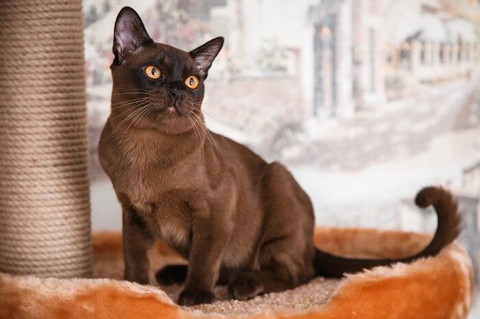 Бурманская кошка: характер и поведение
