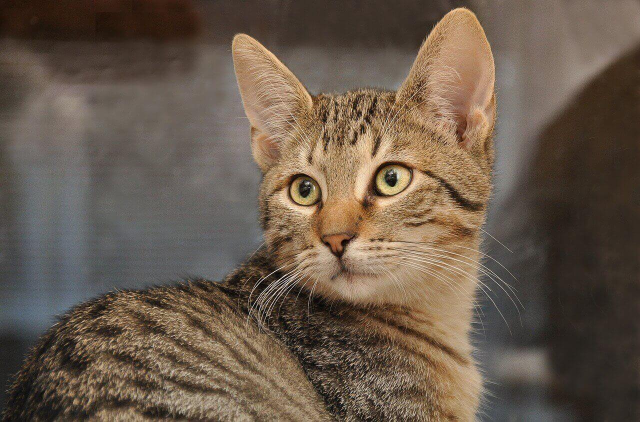 Здоровье азиатской кошки