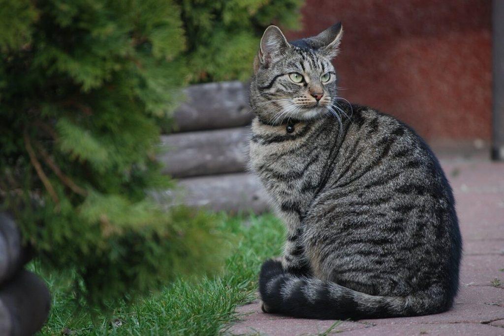 Заболевания азиатской кошки