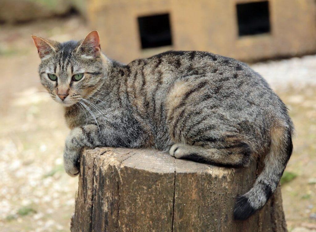 Уход за уссурийской кошкой