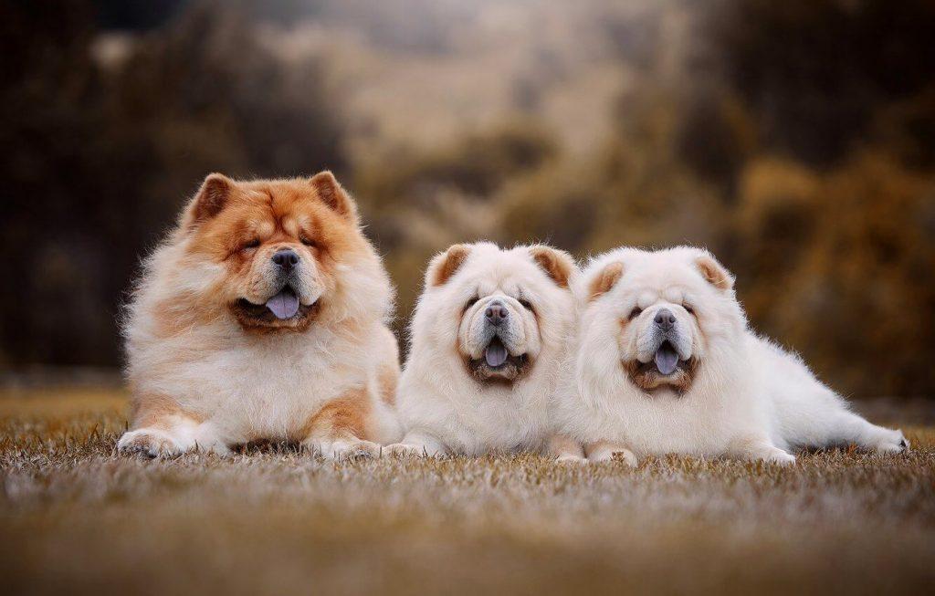 Характер собак чау-чау