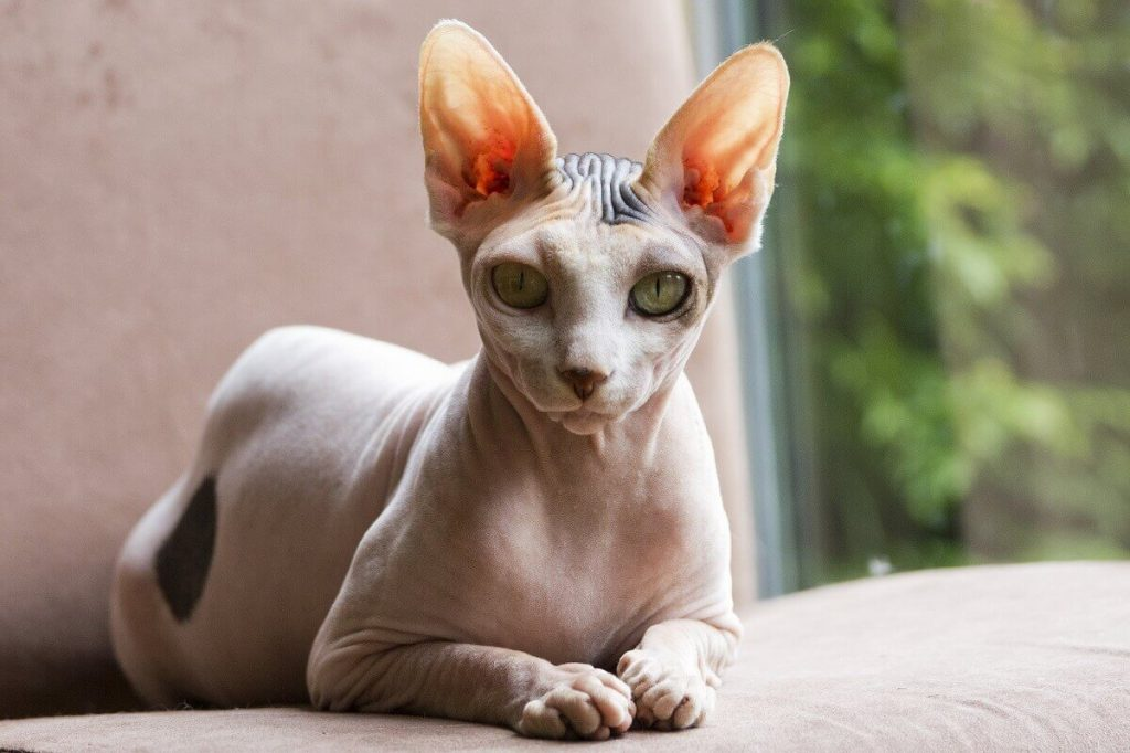 Кохона кошка фото