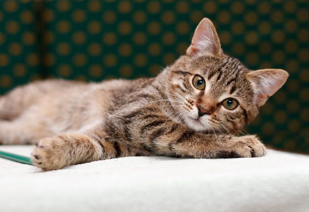 Азиатская кошка: особенности ухода