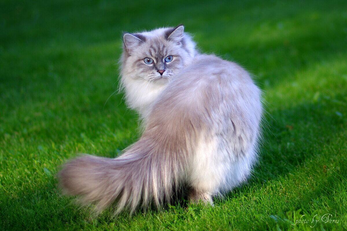 Домашняя длинношерстная кошка