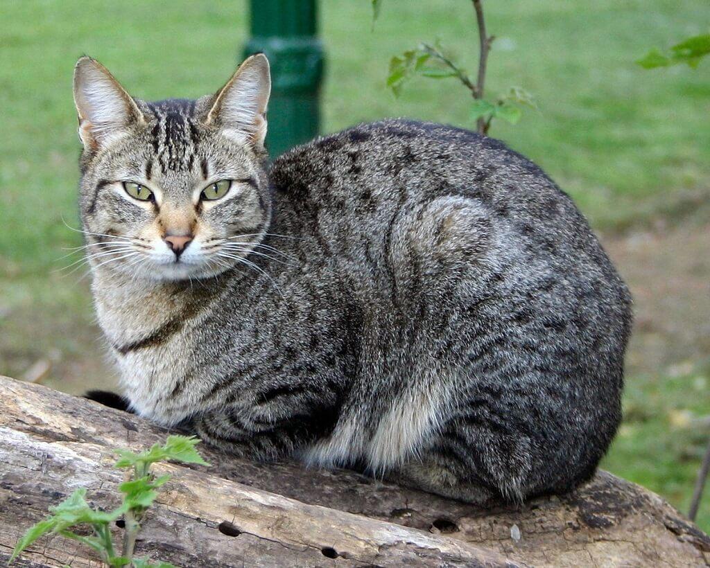 Домашняя порода кошек фото