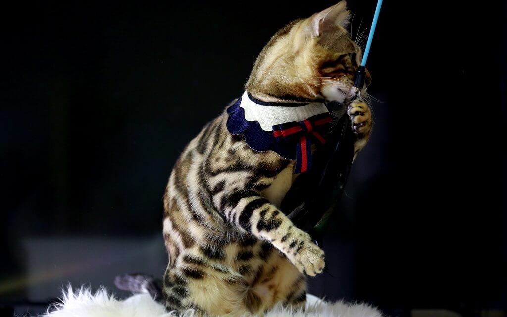 Дрессировка бенгальской кошки