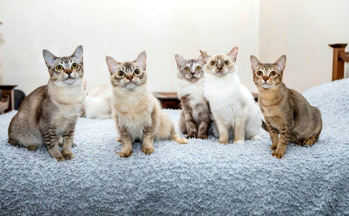 Воспитание азиатской породы кошек