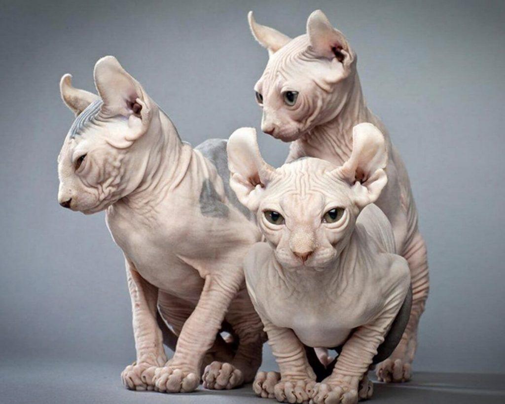 Порода кошек эльф фото