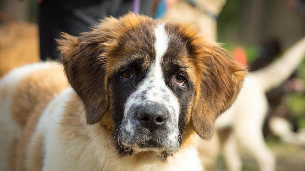 Внешний вид московской сторожевой собаки