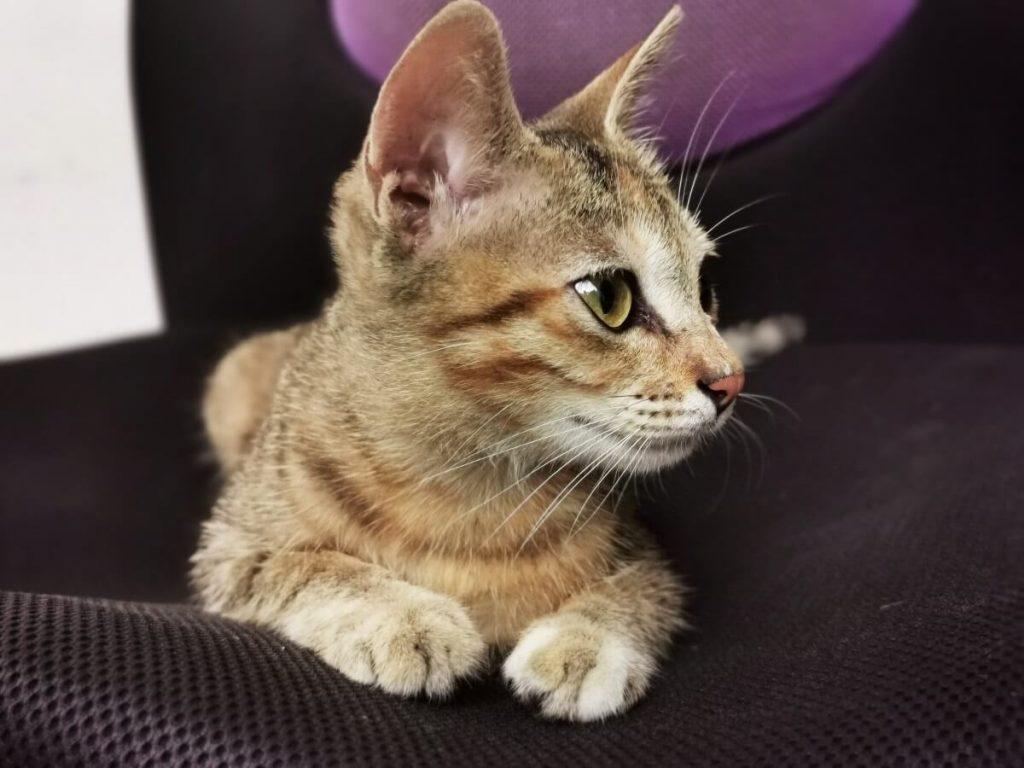 Характер азиатских котят