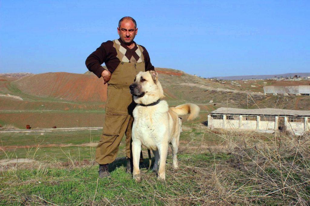 Дрессировка армянского волкодава
