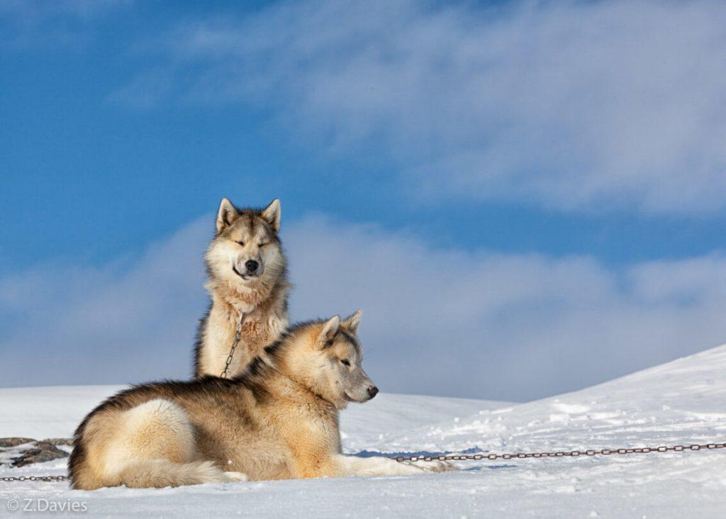 Характер гренландской собаки