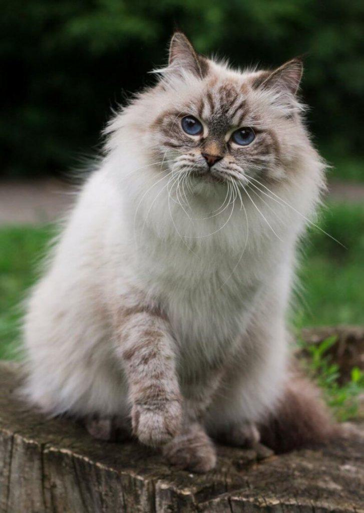 Невская маскарадная кошка: характер и нрав