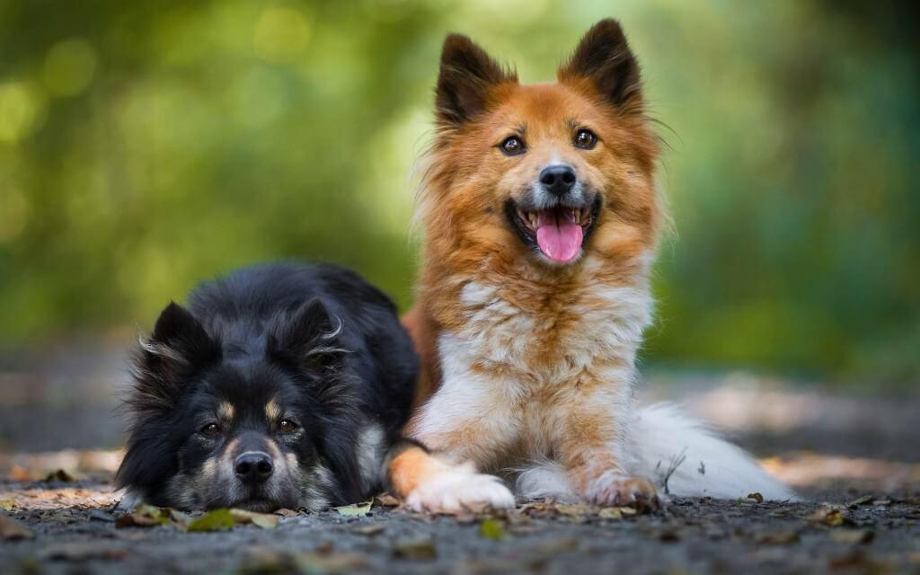 Исландская собака здоровье