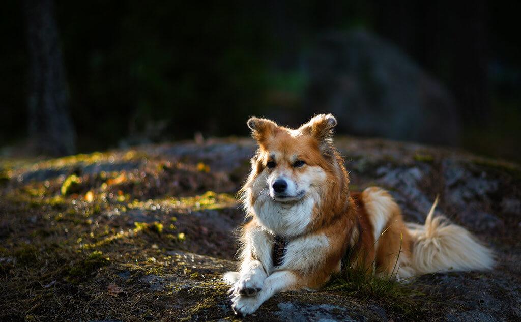 Содержание исландской собаки и уход