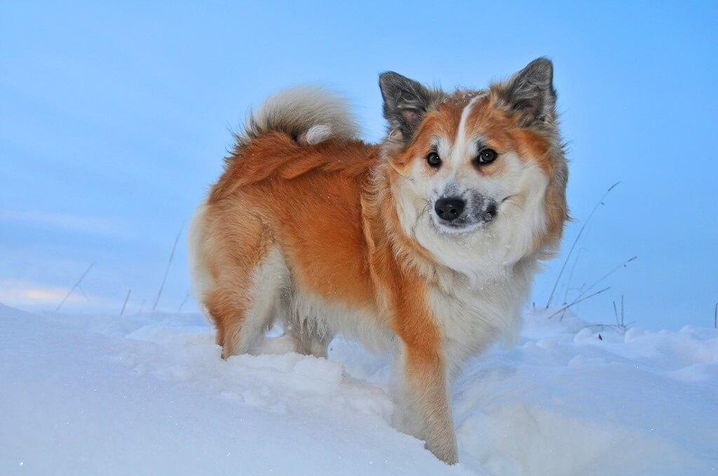 Темперамент исландской собаки
