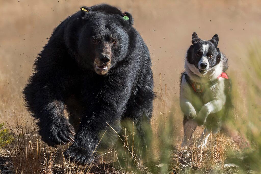 Воспитание карельской медвежьей собаки