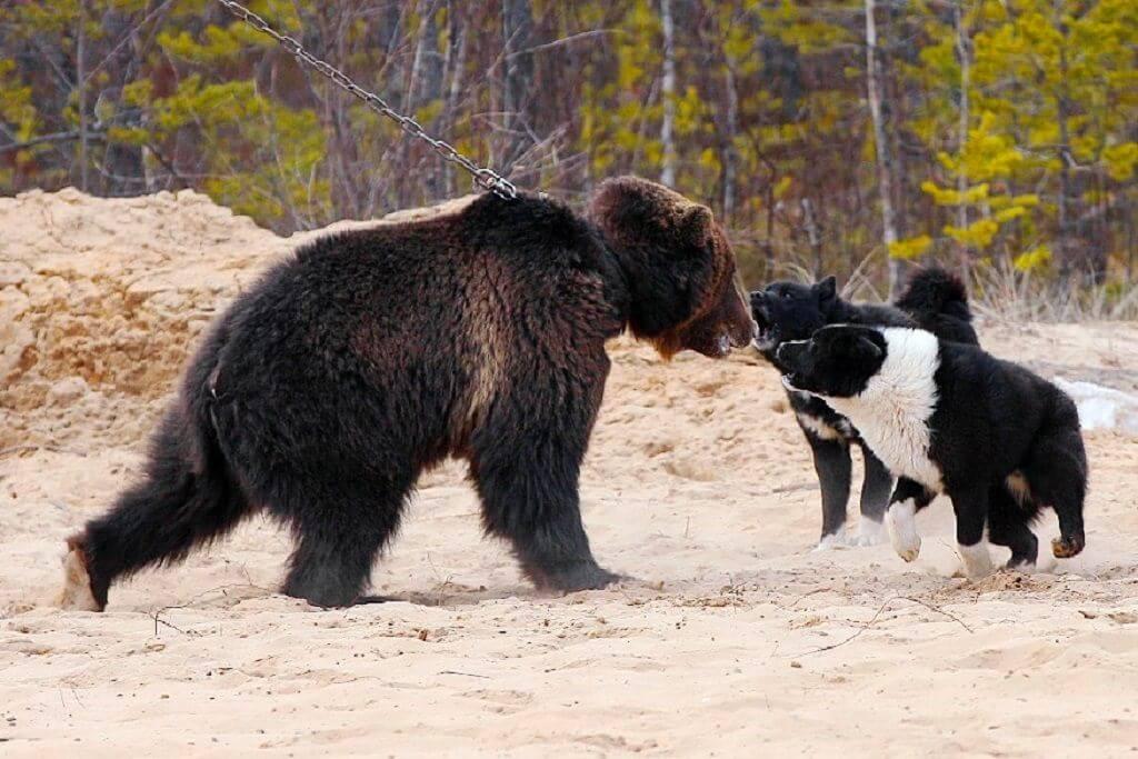 Характер карельской медвежьей собаки