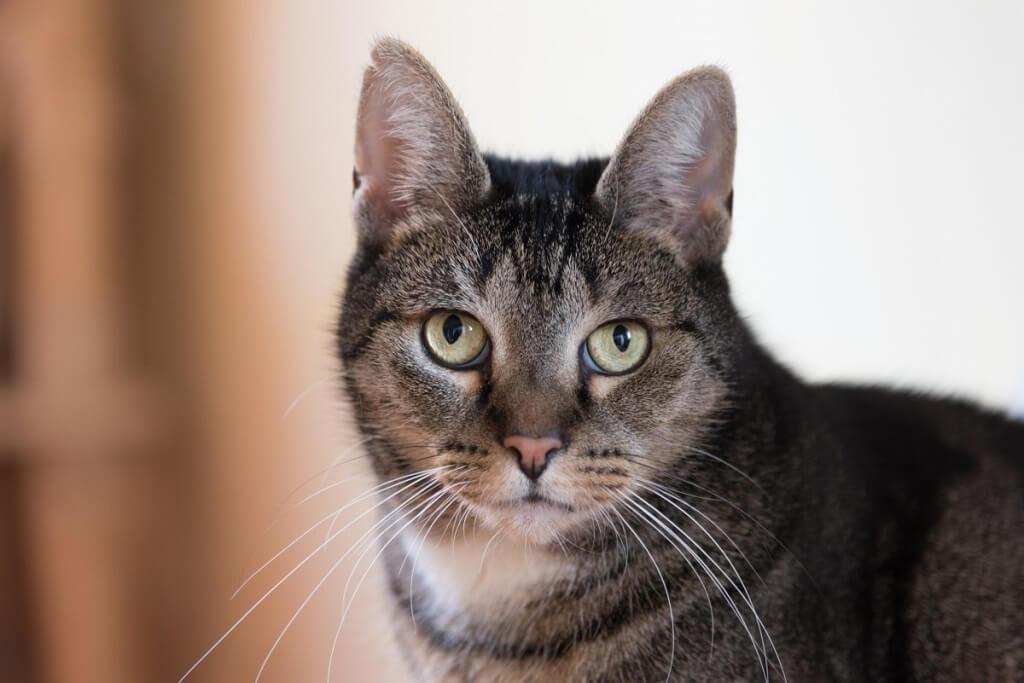 Кельтская (Европейская короткошёрстная) кошка фото