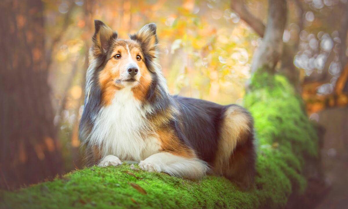 Колли или шотландская овчарка