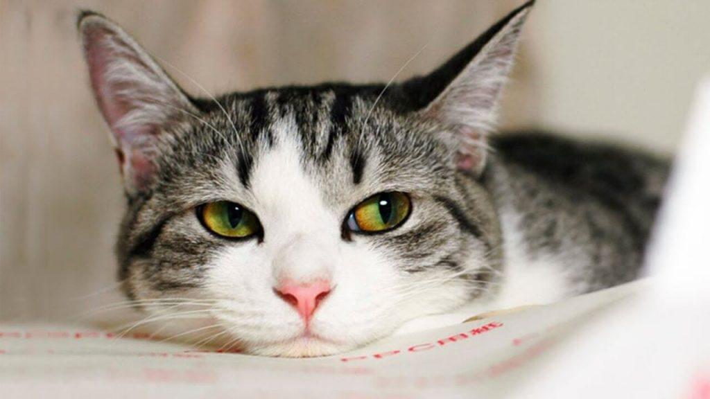 Здоровье эгеской кошки