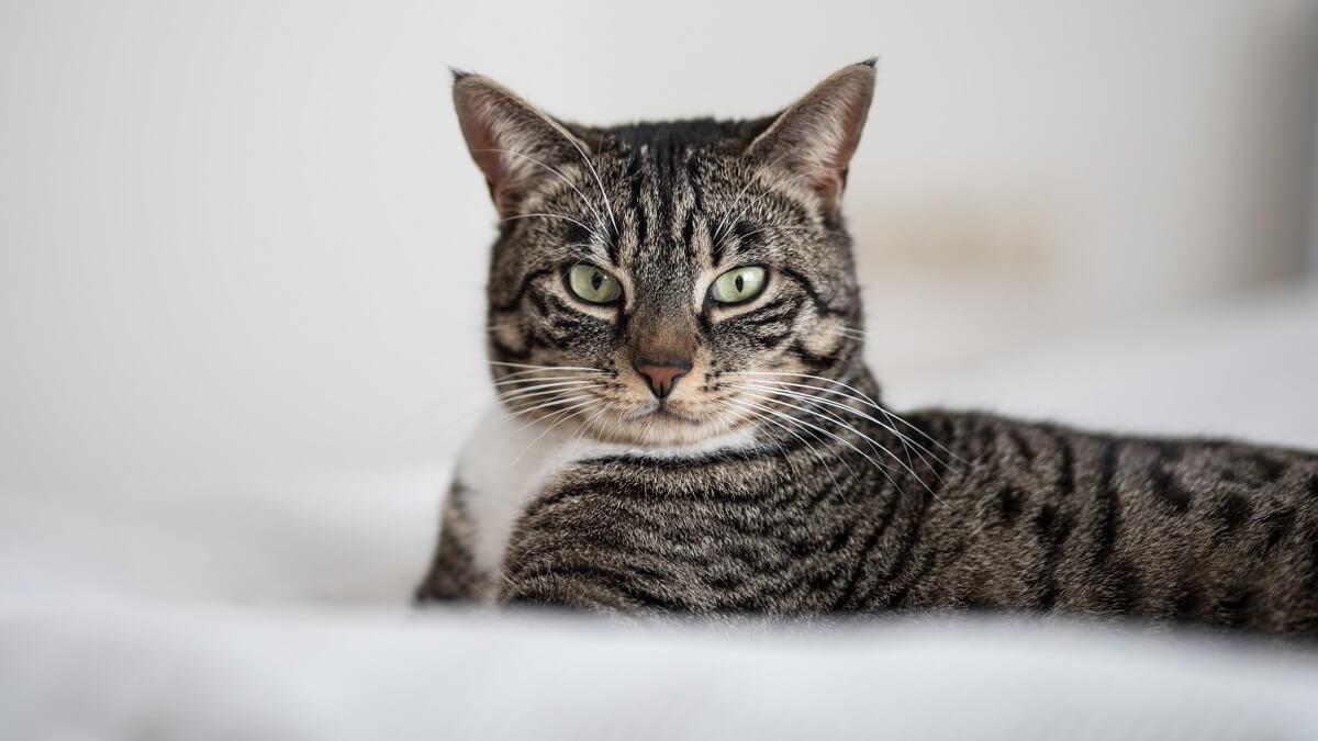 Питание Азиатских кошек