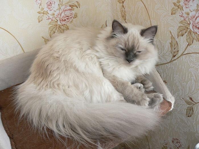 Невская маскарадная кошка: недуги