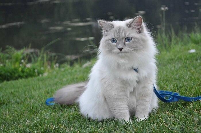 Невская маскарадная кошка: воспитание