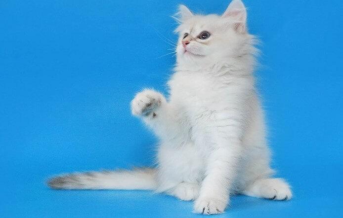 Невская маскарадная кошка: воспитание и дрессировка