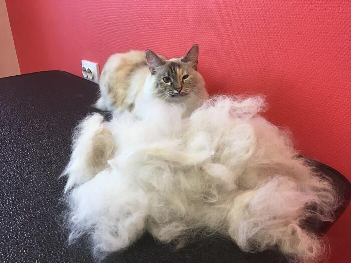 Невская маскарадная кошка: груминг