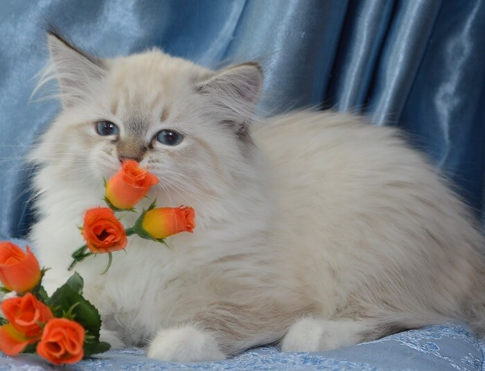 Невская маскарадная кошка: особенности питания