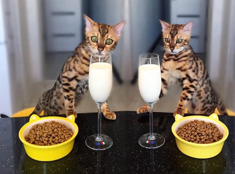 Особенности питания бенгальских кошек