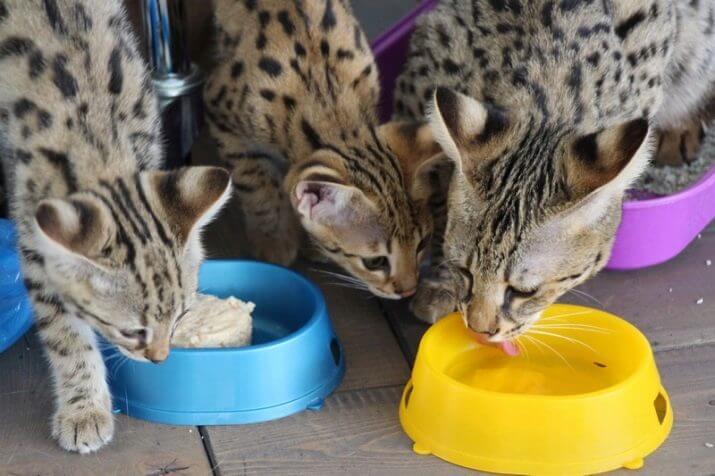 Питание бенгальских кошек