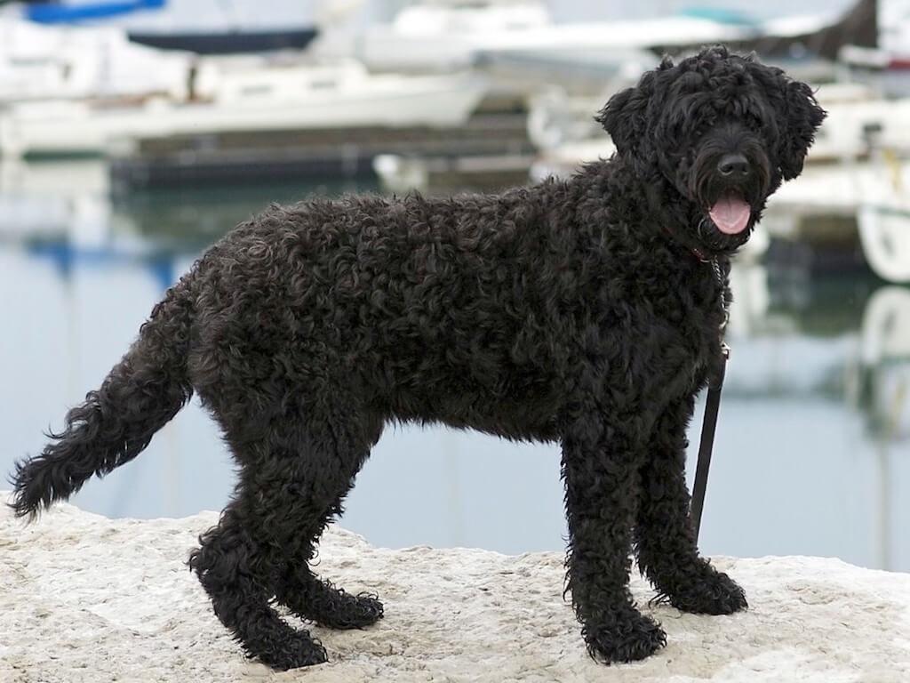 Уход за португальской водяной собакой