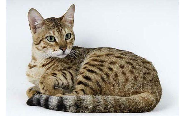 Особенности содержания уссурийских кошек