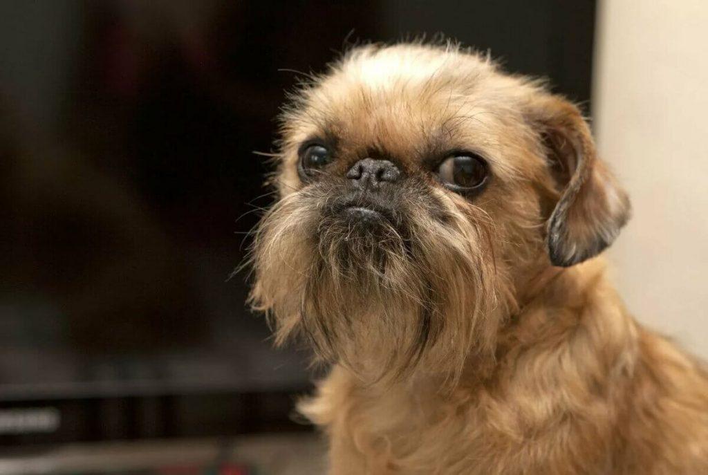 Малая бельгийская собака фото