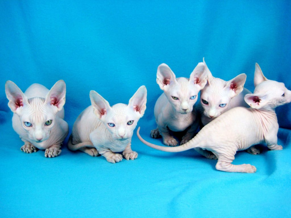 Как выбрать котенка минскин?