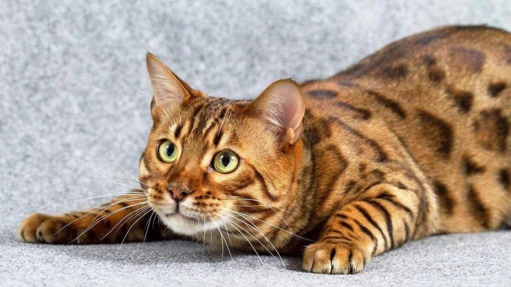 Здоровье уссурийских кошек