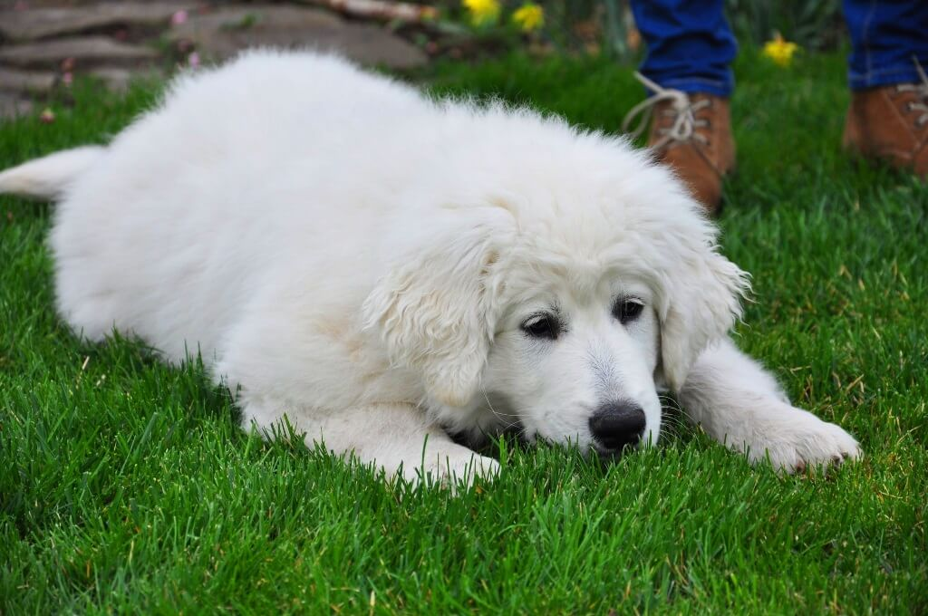 Словацкий чувач щенок