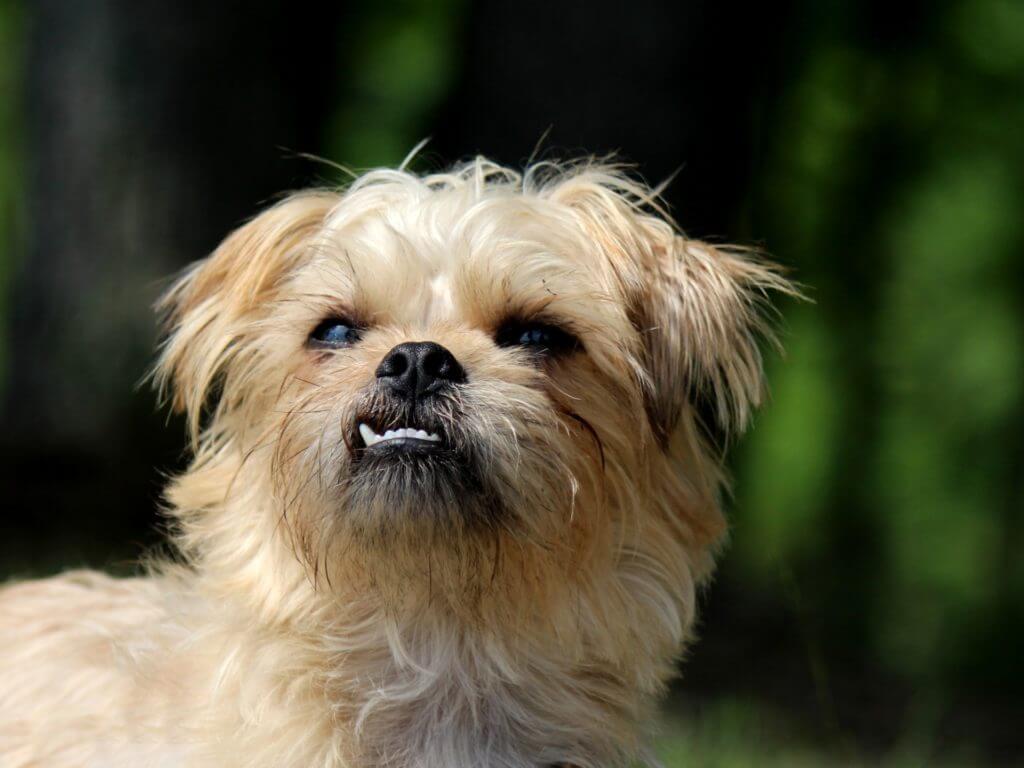 История развития породы Малая бельгийская собака