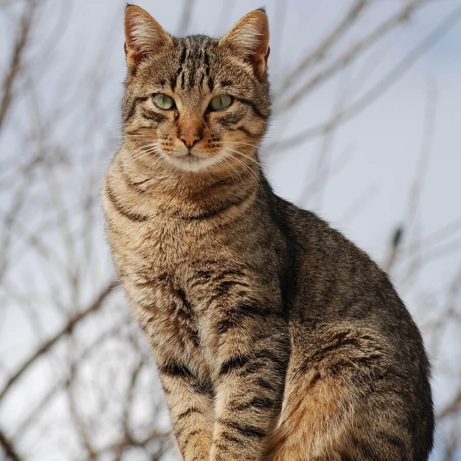 Воспитание уссурийской кошки
