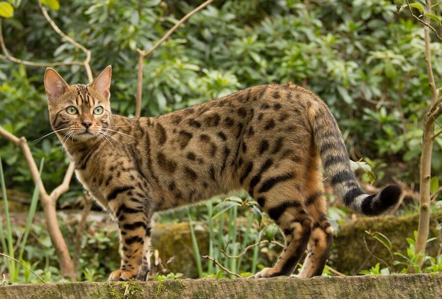 Уход и содержание уссурийской кошки