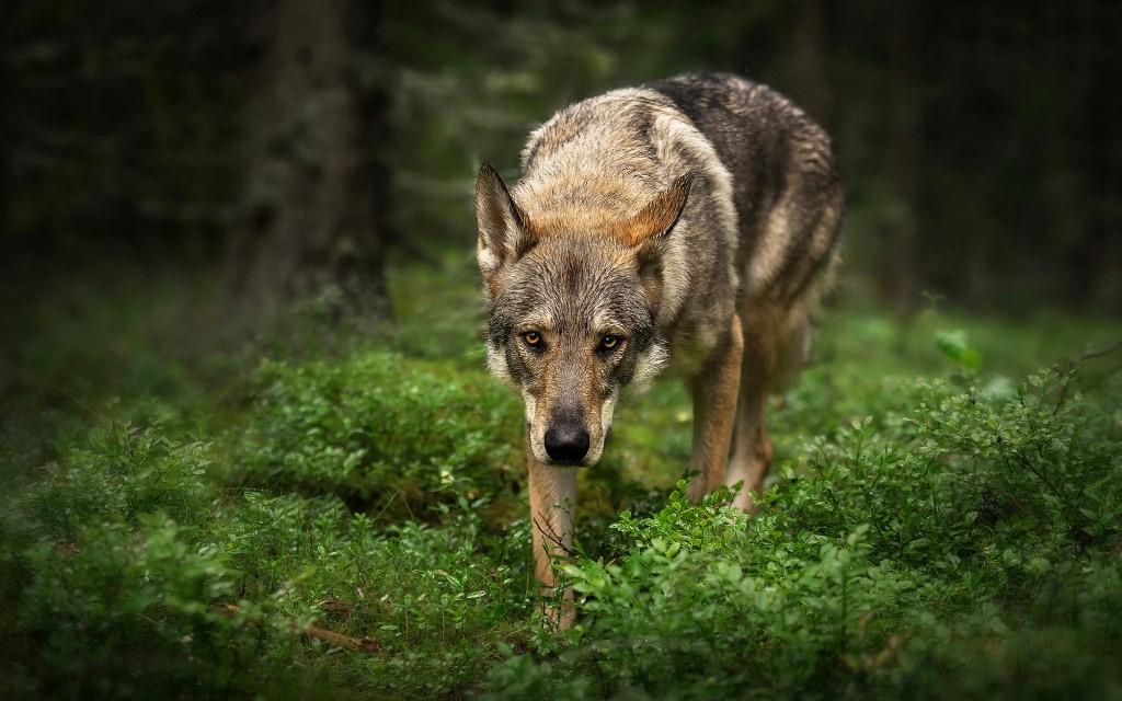 Интересные факты о волчьей собаки
