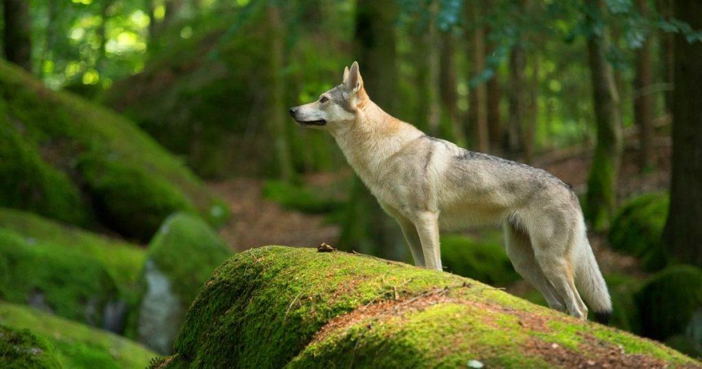 Характер волчьей собаки