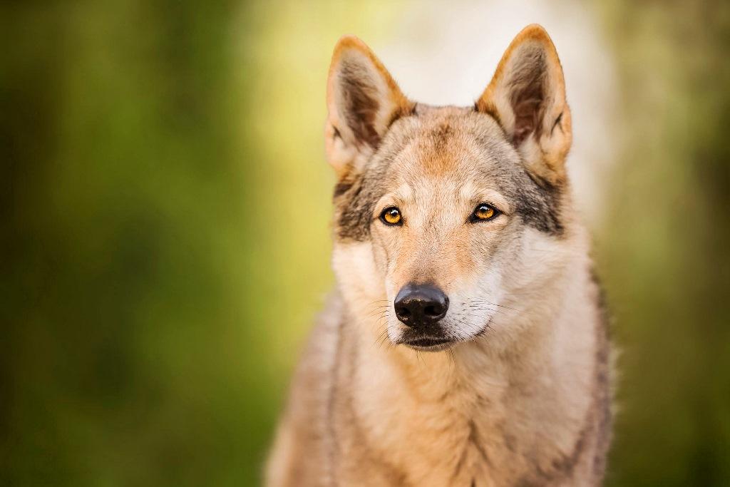 Здоровье волчьей собаки Сарлоса