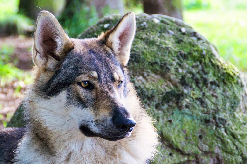 Описание волчьей собаки