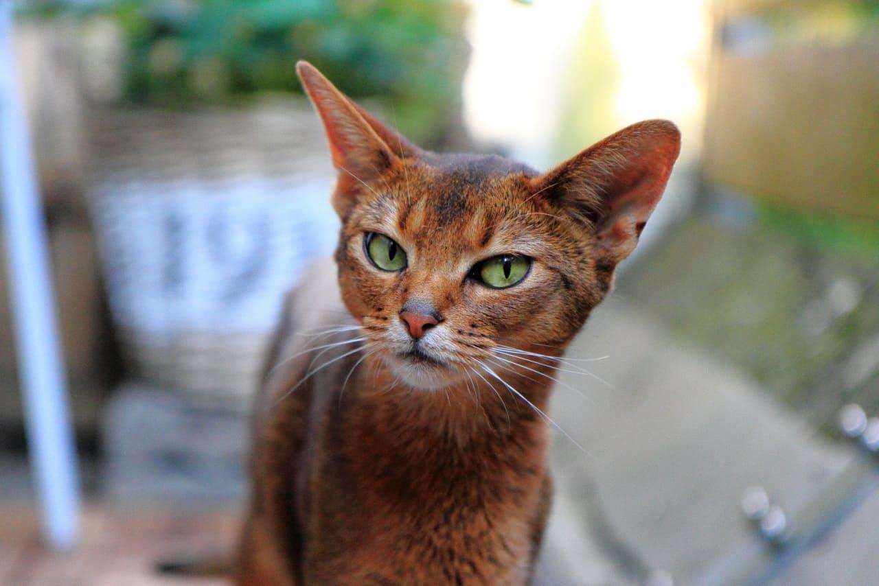История породы цейлонская кошка